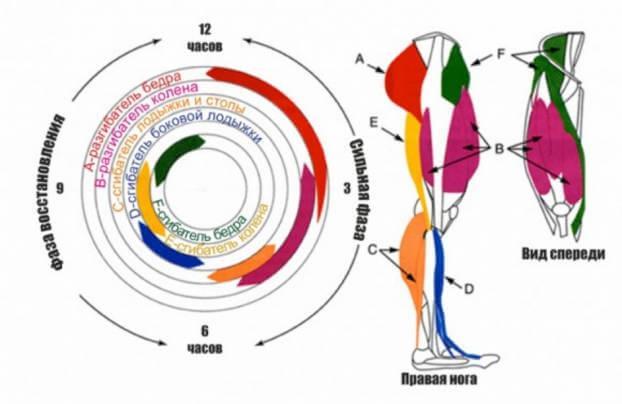Мышцы, задействованные при езде на велосипеде